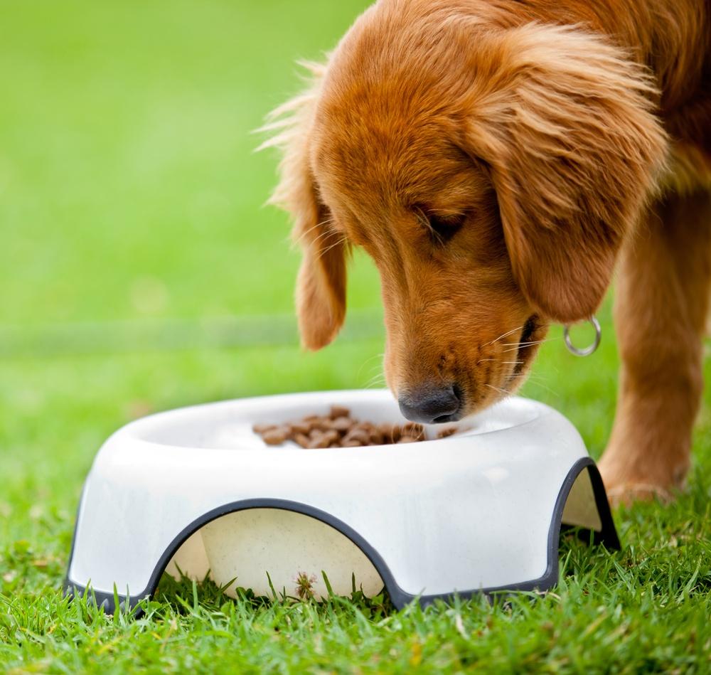 Cute dog at the park eating his food.jpeg